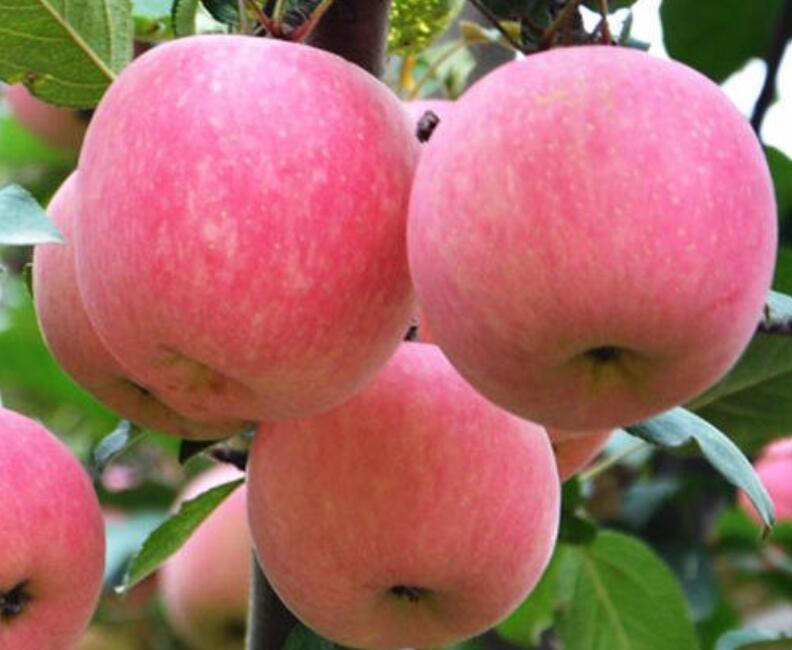 晚熟红富士苹果脱袋后苹果霉心病的原因和对策