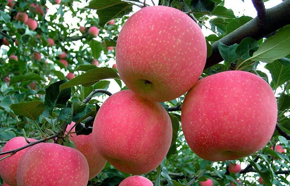 晚熟红富士苹果脱袋后苹果黑点病的原因和对策