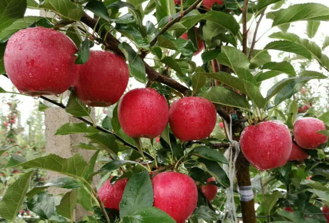 红富士苹果科学价值、营养价值