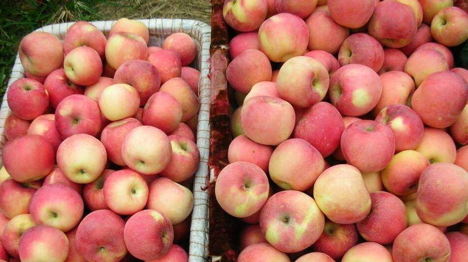 红富士苹果的特点